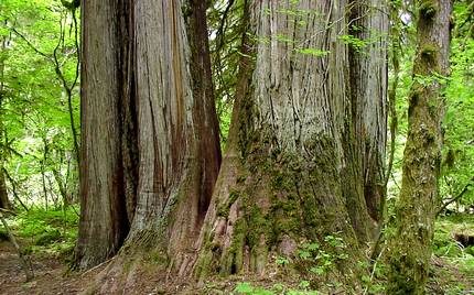 Old growth forest in the Cedar Flats Natural Area